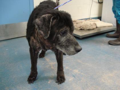 41942840 Available 6 21 Adoptable Dog Senior Male Labrador
