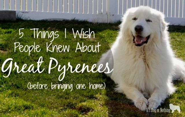 Wish People Knew About Great Pyrenees