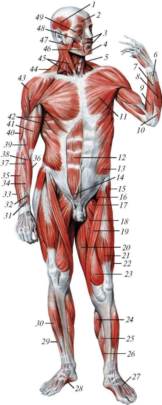 машина расположение мышц на теле человека фото такого фотошопа, как