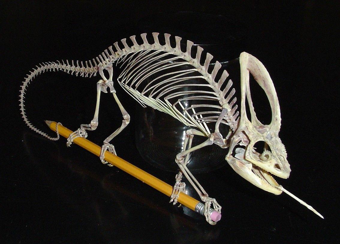 Chameleon skeleton drawing