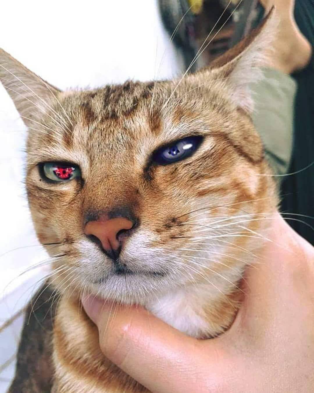 Kucing Kampung Mana Ni Follow Kami Kucing Kampung Mana Ni Follow Kami Malaysiaigers Haiwanku Lawak Cats Cats And Kittens Kami