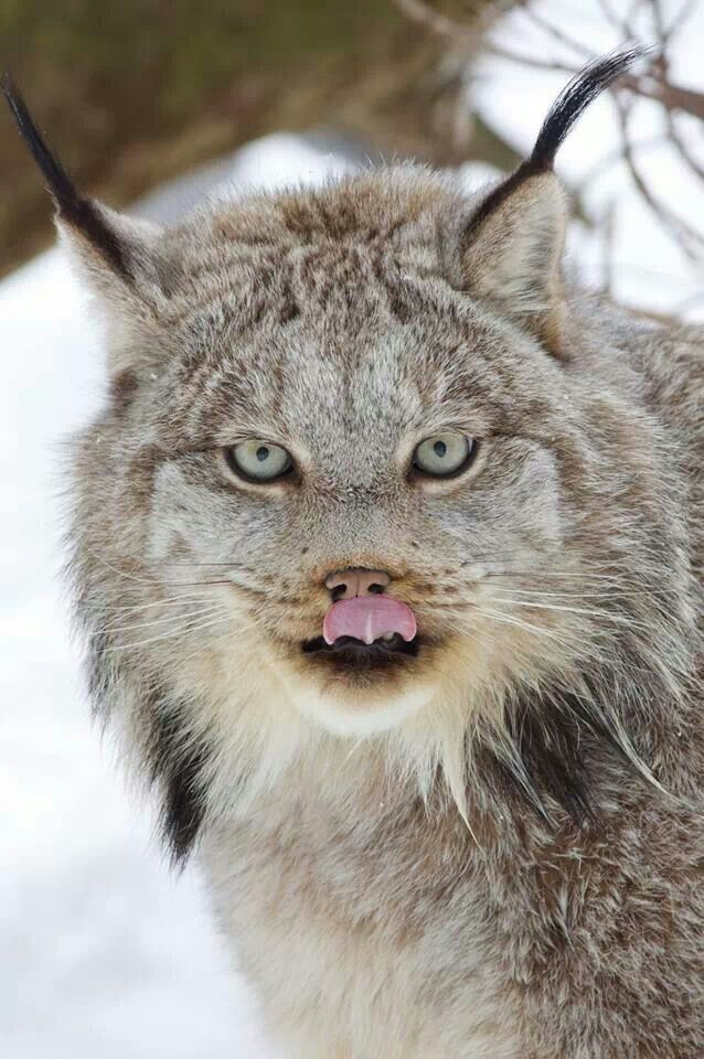 Lynx has distinctive tufts on the tips of their ears that