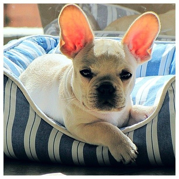 Don T Let My Ears Fool You I Still Don T Listen I M A Frenchie