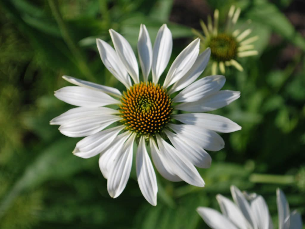Echinacea purpurea white swan white swan coneflower white swan echinacea purpurea white swan is a compact perennial of upright growth with large izmirmasajfo