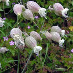 Bladder campion produces fragrant white bell like flowers unusual bladder campion produces fragrant white bell like flowers mightylinksfo