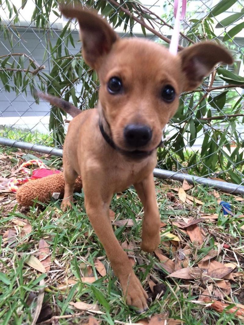 Adopt Tika On Animals Pets Schnauzer Mix