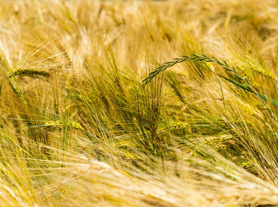 Wheat field  by DorianoDiSalvo. @go4fotos