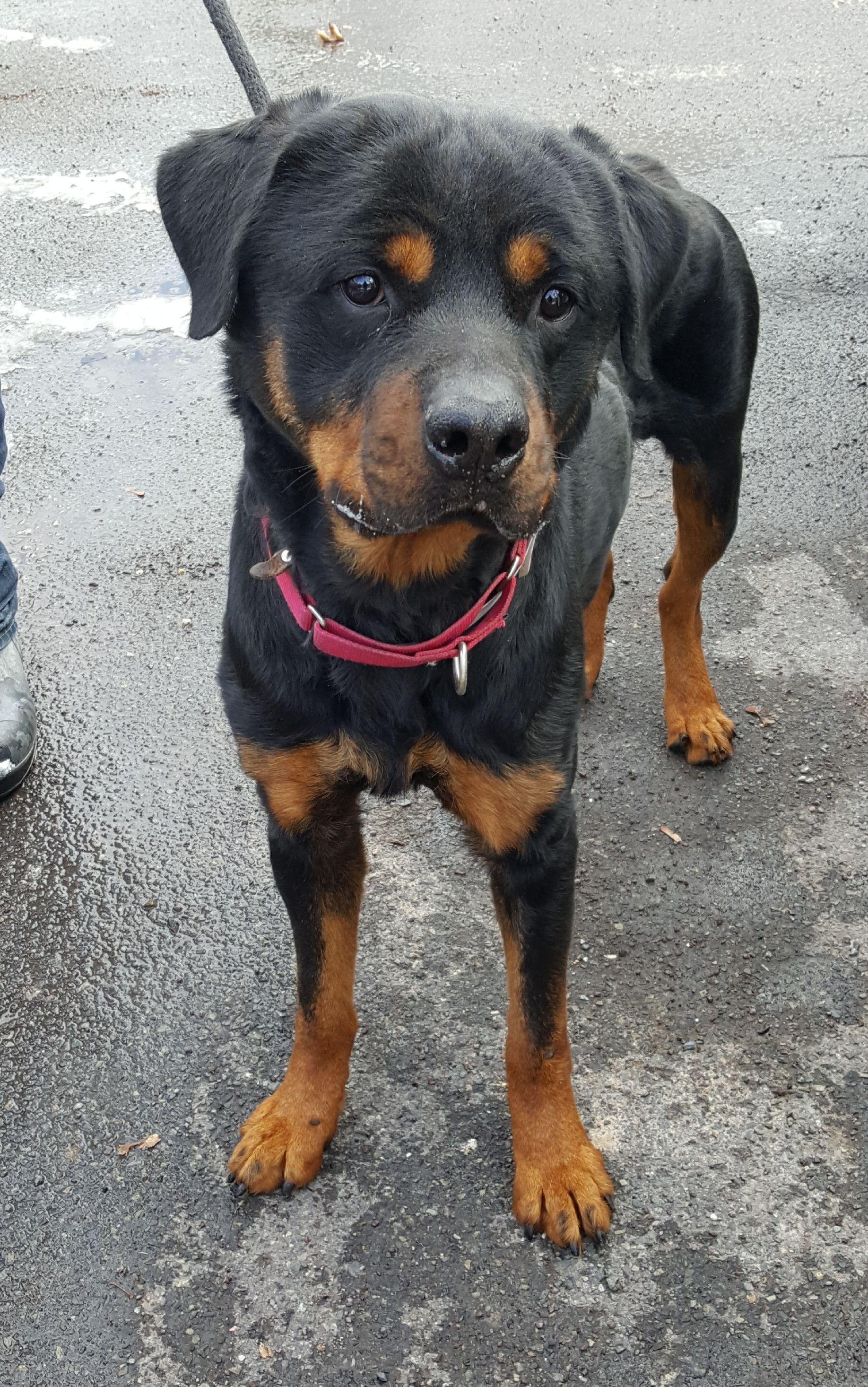 Rottweiler Dog For Adoption In Hillsboro Nh Adn 773202 On
