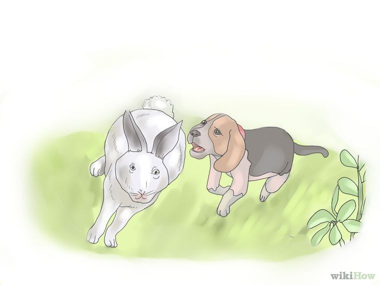 Train A Dog For Rabbit Hunting Rabbit Hunting Beagle Puppy