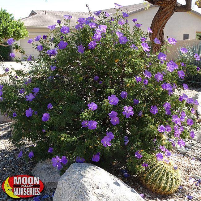 Blue Hibiscus Evergreen Shrubs A Beautiful Garden Blue
