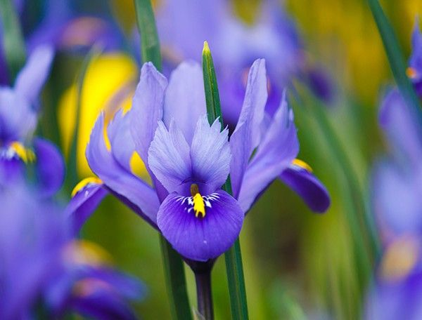 Iris Essential Oil Fragrance Lovers Iris Flower Scent
