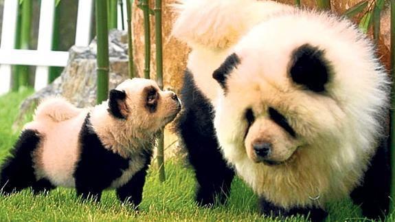 On Est Pas Au Zoo Ici Arretez De Nous Donner Des Bambous Aussi La Dogue Du Tibet Panda Dog Panda Chow Chow Cute Animals