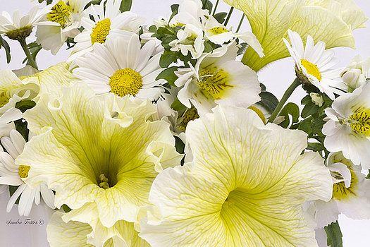 Sandra Foster - Yellow Petunias And Daisies
