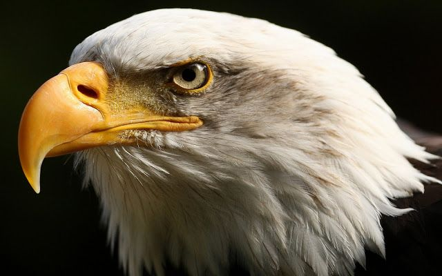 45 Eagle Wallpapers Barbaras Hd Wallpapers Eagle Images Eagle Wallpaper Eagle Background Eagle bird full hd wallpapers