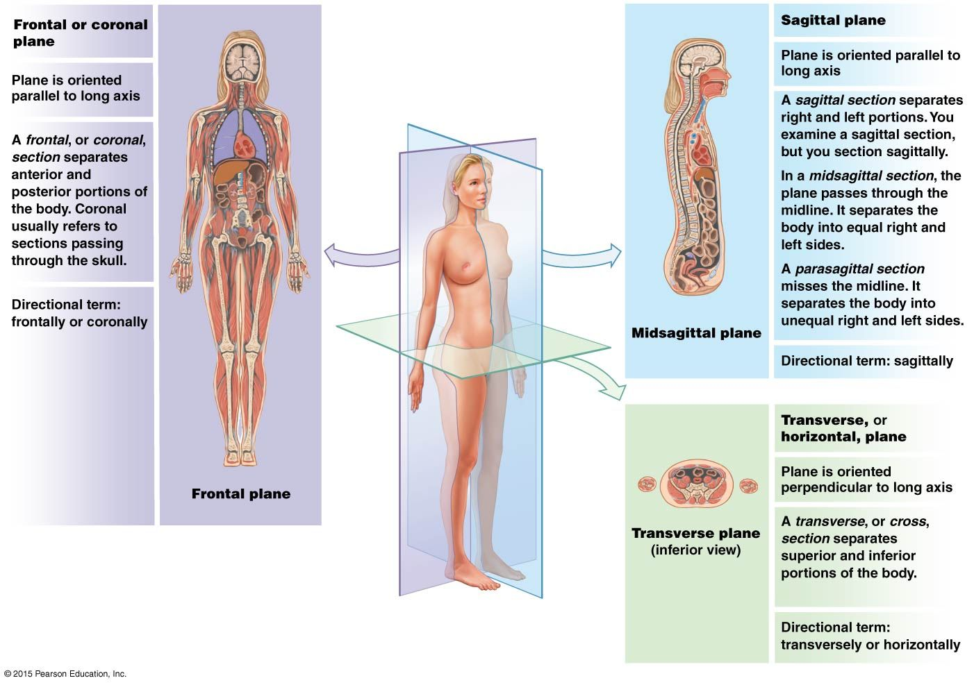 Illustration showing sectional planes of the human body ...