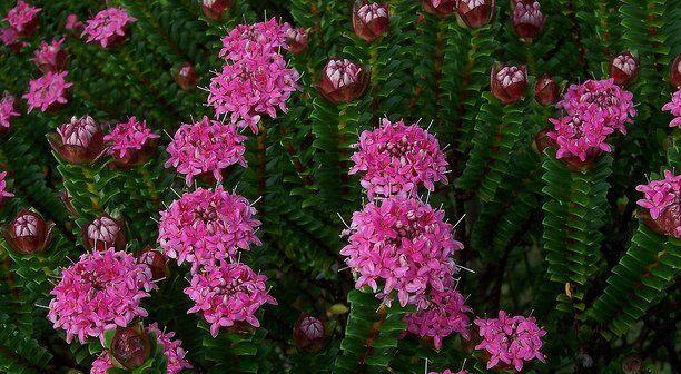 Evergreen Shrub With Lovely Fragrant Flowers Pimelea Fragrant