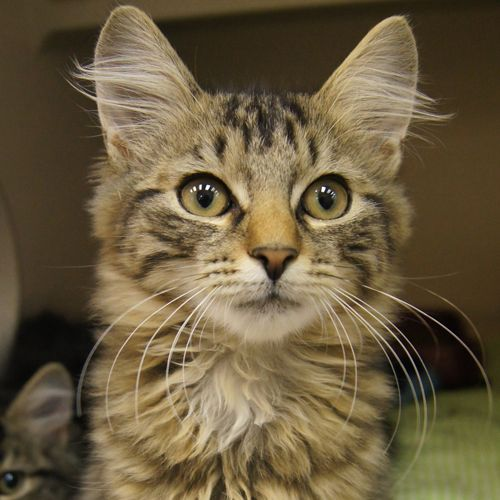 Adopted Tim Is A 3 Month Old Neutered Male Tiger Striped Domestic Long Hair Kitten Tim Is A Gorgeous Tiger Kitten With Lucky Dogs Long Haired Kittens Cats