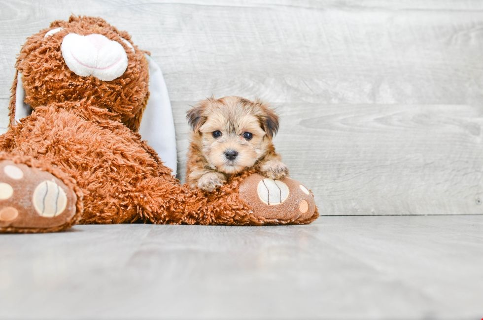 Small breed puppies for sale | Teacup Pups for sale in Ohio