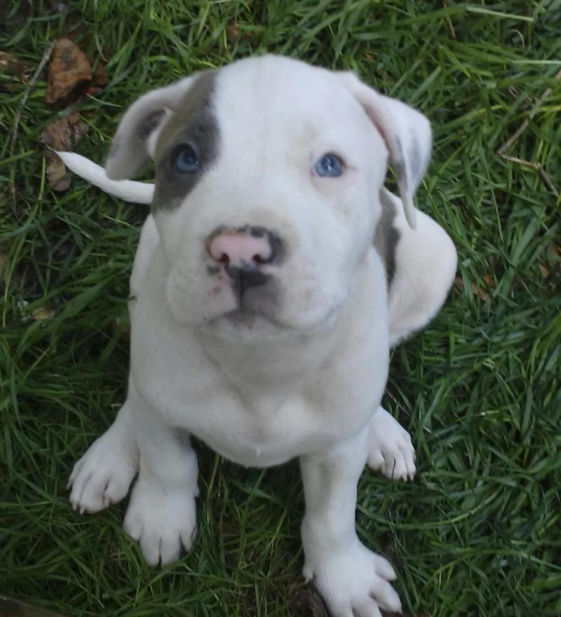 Adopt PETEY on Pitbull terrier, Dog list, Pitbulls