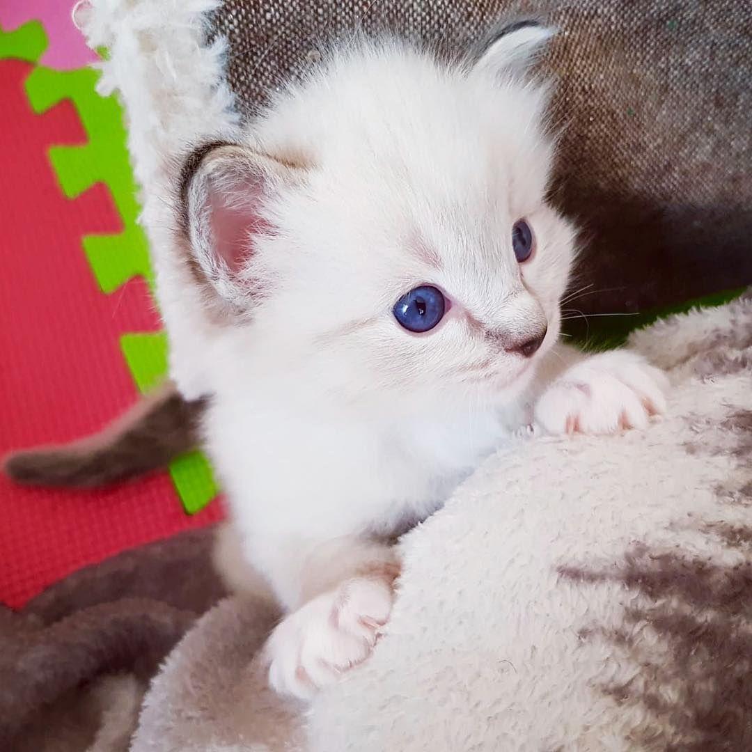 Byakko Cute Cutekitties Cutecats Cuteanimals Cutekitty Cutekittens Cutekitten Cuteragdoll Byakko Cute Cutekitti Baby Cats Ragdoll Cat Kittens Cutest