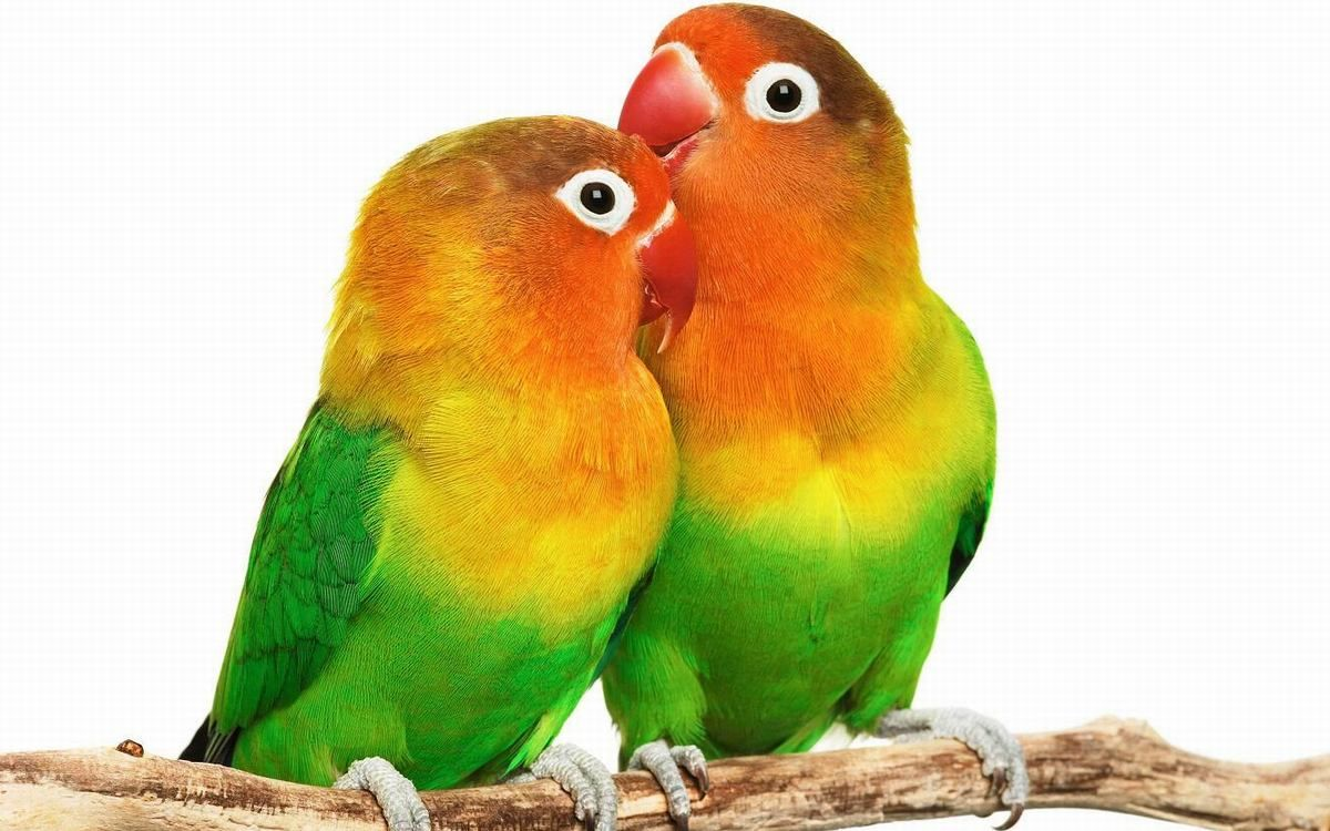 Cute Love Bird Colorful Parrot Hd Wallpapers 900 596 Love Birds