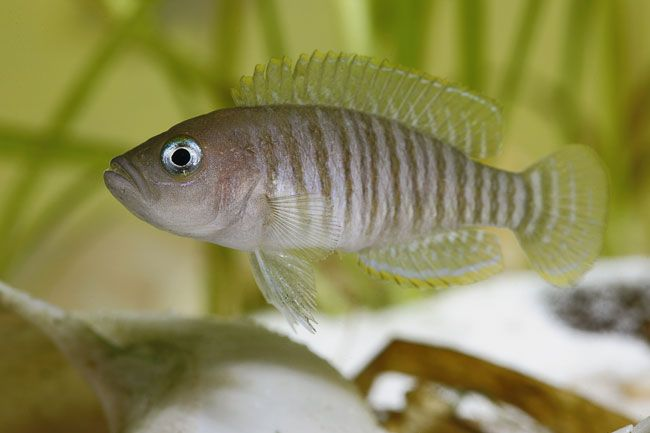 Neolamprologus multifasciatus, Vielgestreifter Schneckenbuntbarsch, Buntbarsch, Tanganjikasee, Ostafrika