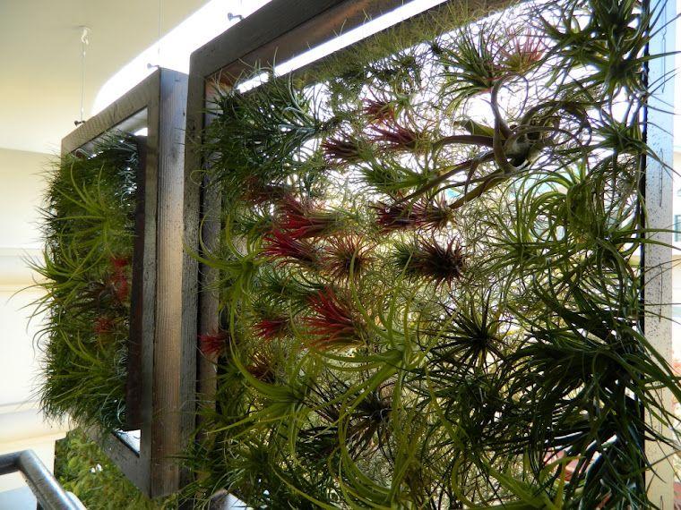 Cuadro con tillandsias jard n vertical bromelias - Cuadro jardin vertical ...