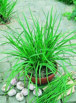 Check out the deal on Chives Garlic Geisha Allium tuberosum    500 seeds at Hazzard's Seeds