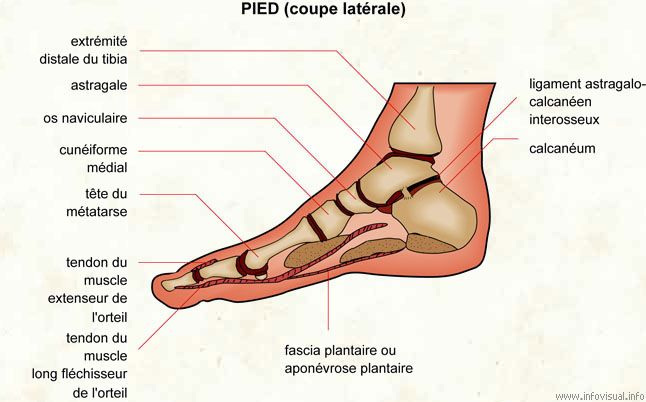 Anatomie Du Pied schema muscle du pied | medical | peripheral neuropathy, foot