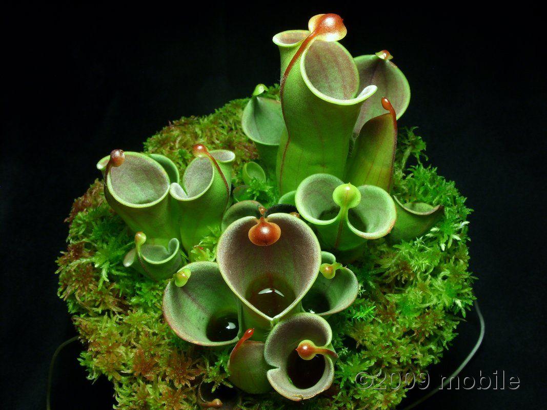 Plante carnivore Heliamphora heterodoxa x minor