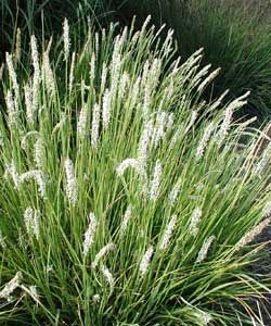 Evergreen Pflanzen sesleria autumnalis evergreen moor grass in shade and