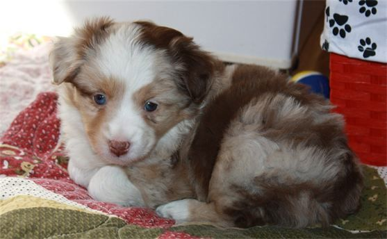 Daisy Hill Aussies Puppies Rosi Swagger Puppies Australian