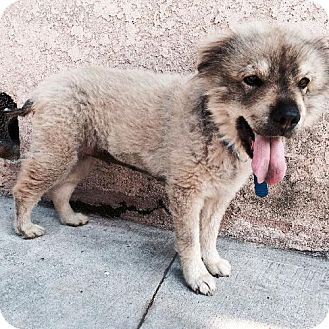Pictures Of Mochi A Keeshond Chow Chow Mix For Adoption In Marina