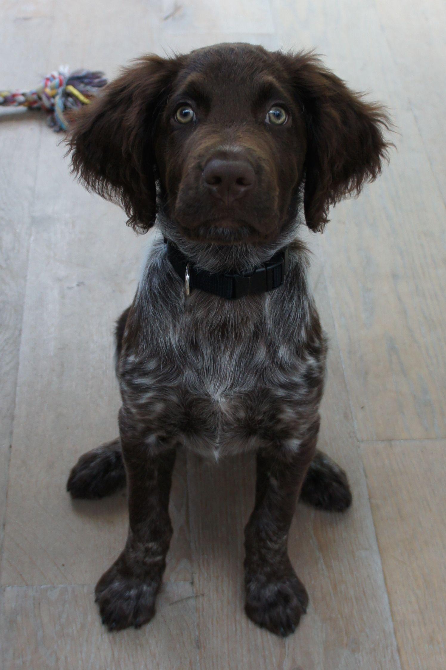 Noa Heidewachtel Okisgoeddoei Small Munsterlander Or Heidewachtel From Deutschland Cute Dogs Beautiful Dogs Dogs