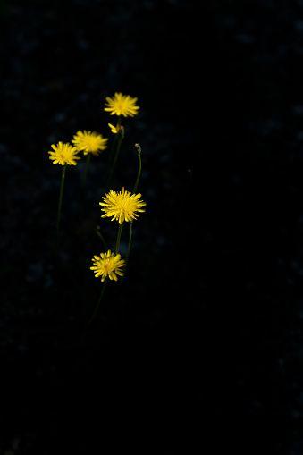 Pin By Manish Thacker On Black Flowers Black Background Dandelion Black Backgrounds