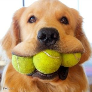 Image result for golden retriever tennis balls in mouth
