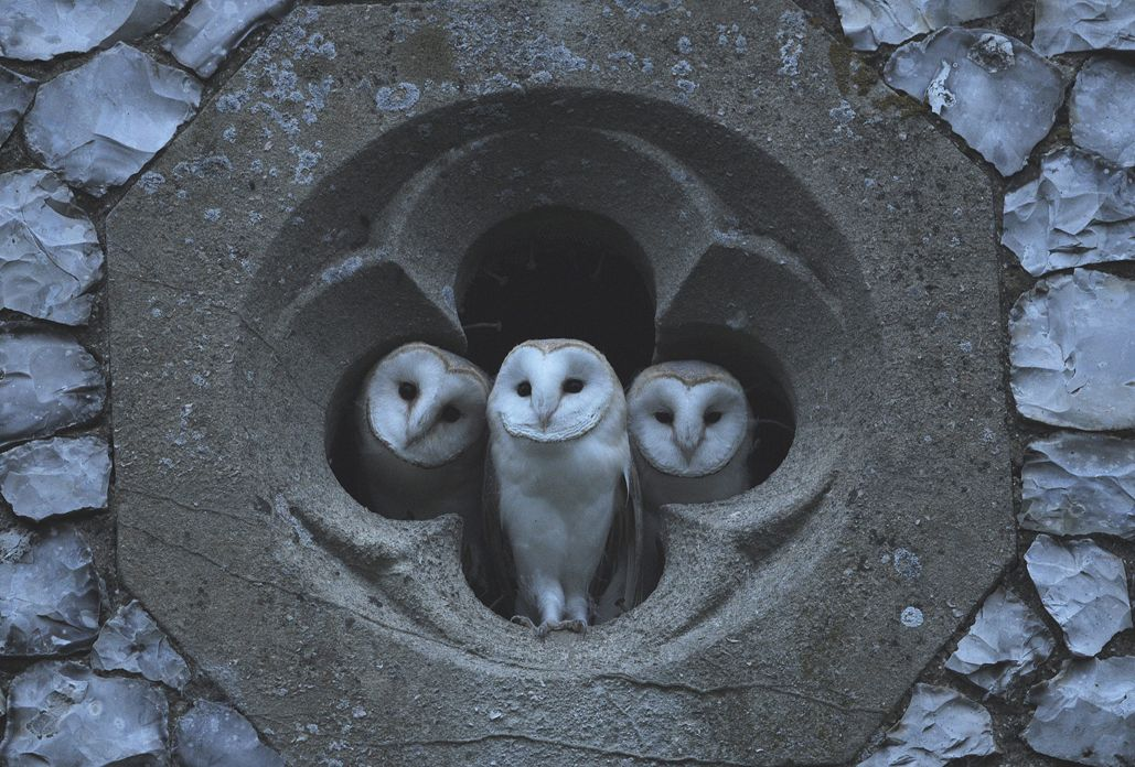 Three in Four. Richard Brooks photographed the three young Barn Owls looking out of the quatrefoil of a local church one evening in July 2009 after staking out the site most evenings over a three week period.