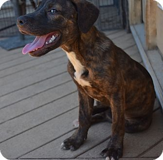Mountain Cur Catahoula Leopard Dog Mix Puppy For Adoption In