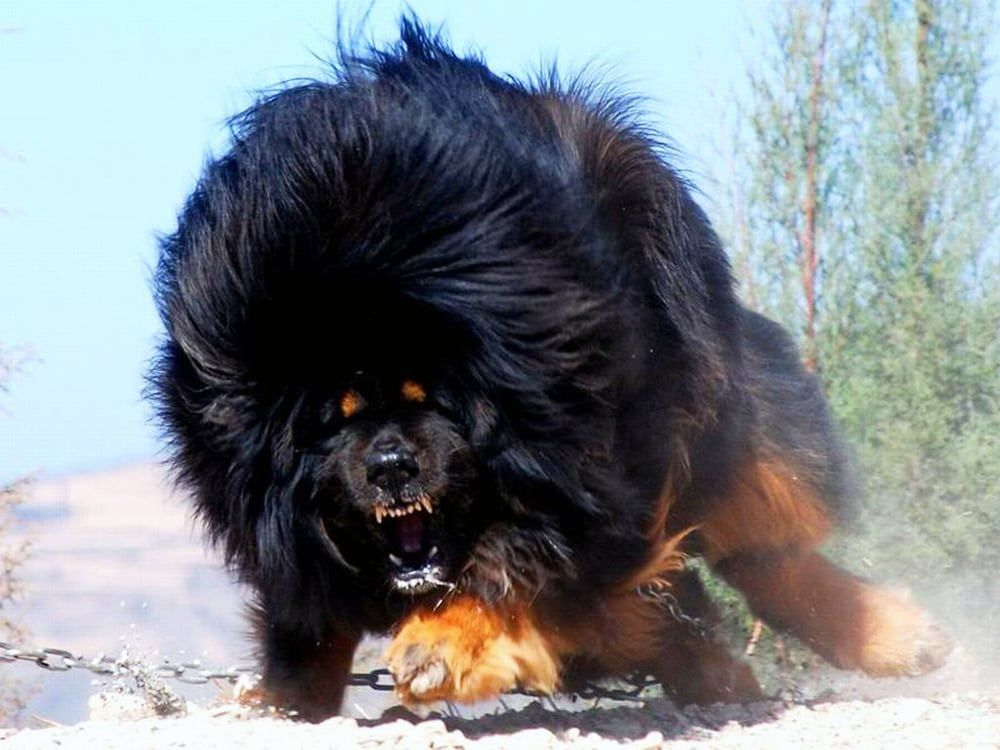 The Most Expensive Dog Breed To Own Expensive Dogs Dogs Dog Breeds