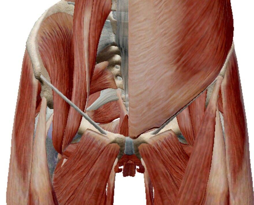 靭帯 鼠径 鼠経靭帯の場所などを骨格標本、イラストにて解説します。