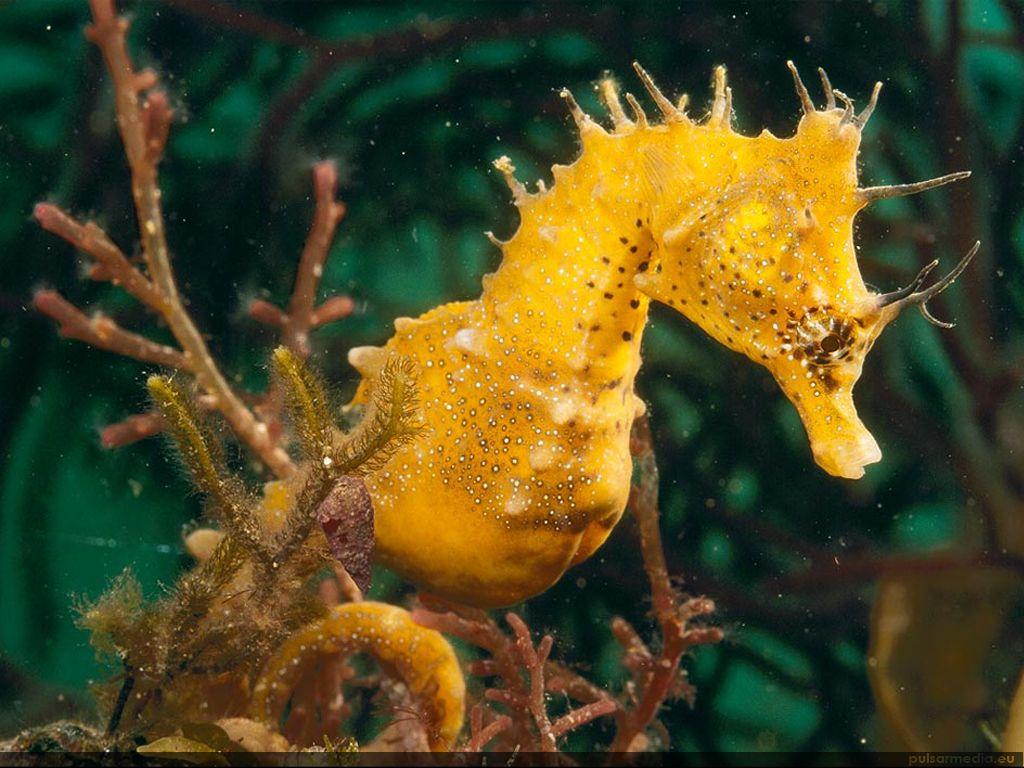 Fonds D Ecran Hd Cheval De Mer Http Wallpapic Fr Ocean Et Mer Cheval De Mer Wallpaper 11371 Animales Animaux Les Creatures