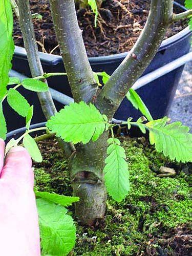 Bonsai Anfänger bonsai anfänger guide   bonsai gestaltung/pflege   pinterest