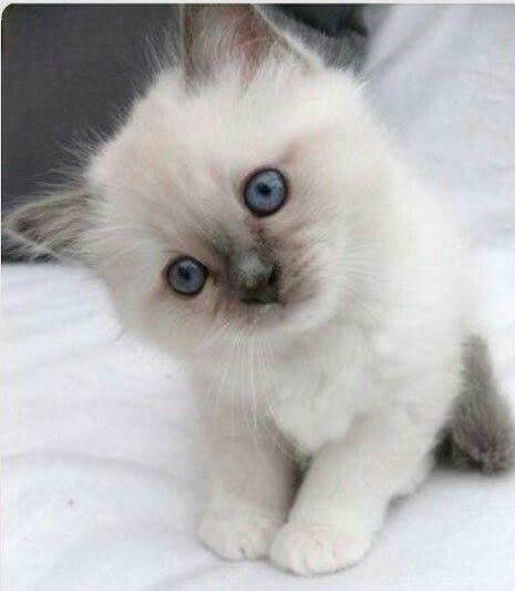 Pin By Cat Man Du On Gatos Pretty Cats Cute Cats Kittens Cutest