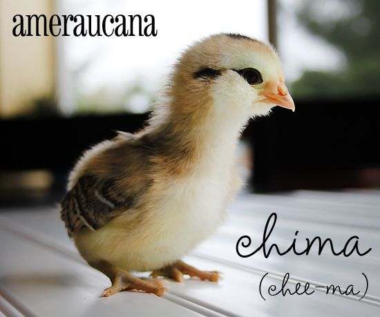 Ameraucana Chicken. Her Name Is Chima.