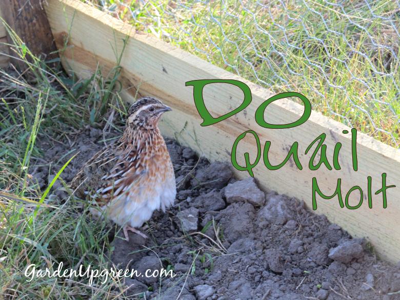 Molting Quail (With images) | Quail, Raising quail ...