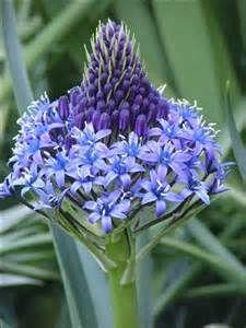 Unidentified Bulb Blue Flower Blue Flowers Beautiful Flowers Flowers