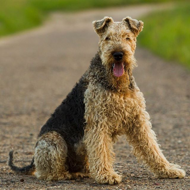 Airedale Terrier Dog Breed Information Dog Breeds Airedale Terrier Terrier Dog Breeds
