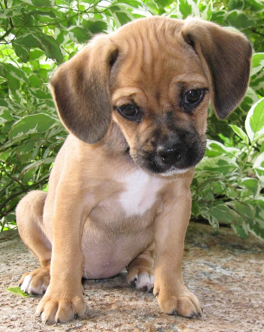 Image For Cute Puggle Puppy Puggle Puppies Puggle Puppies