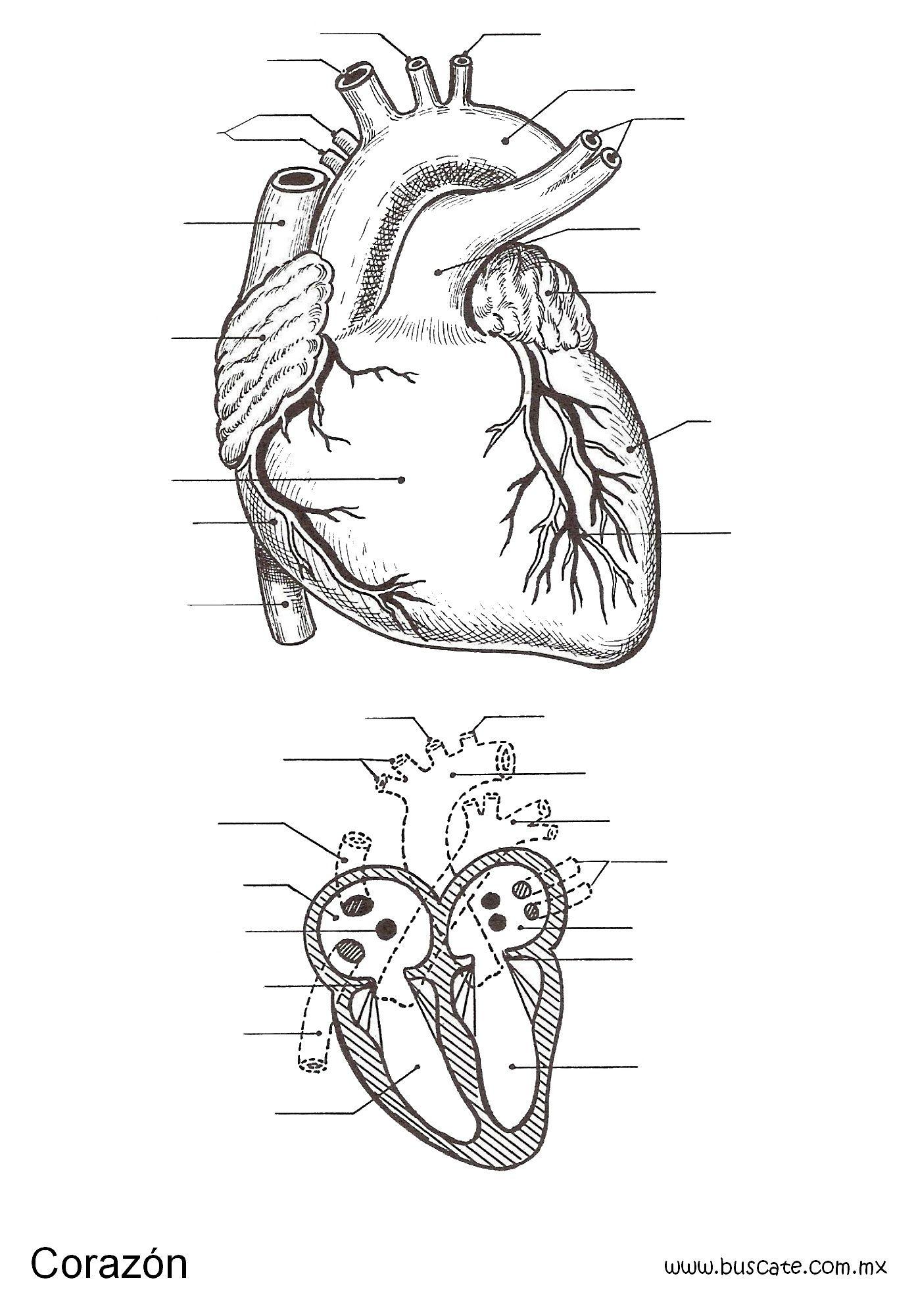 Esquema del corazón sin el nombre de sus partes. Para completar ...