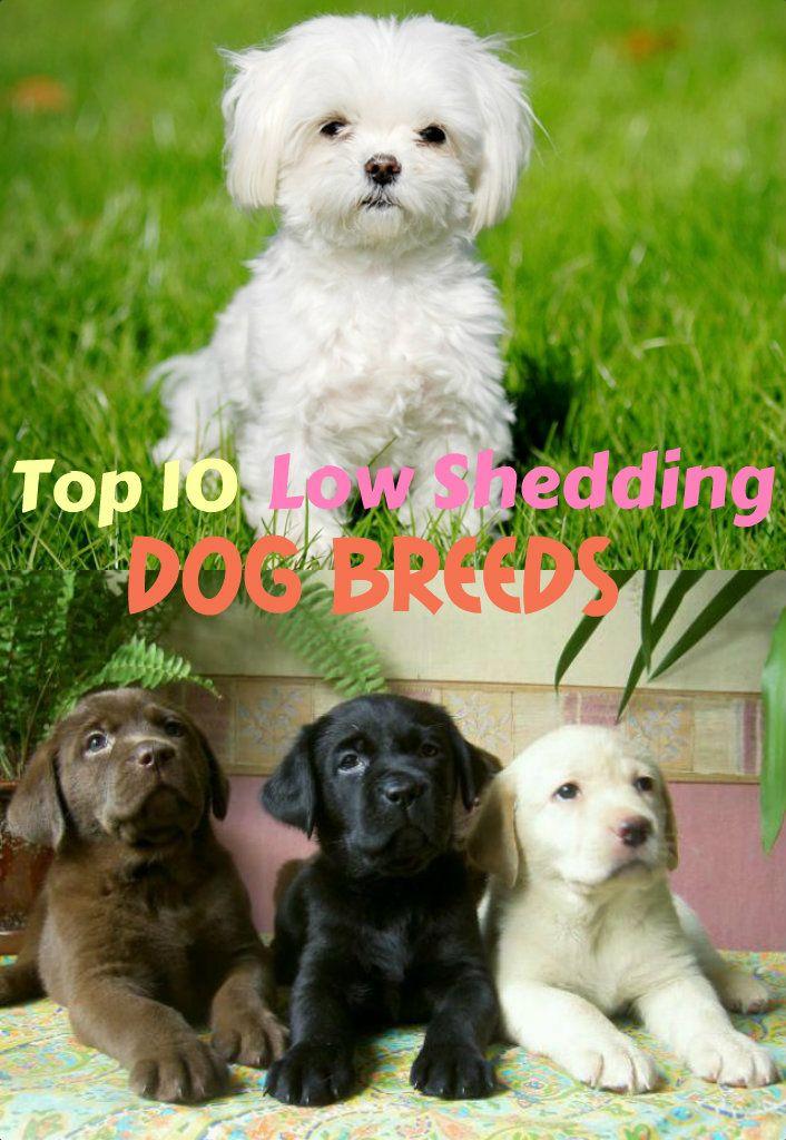 Best 10 Low Shedding Dog Breeds ! Dog breeds, Low